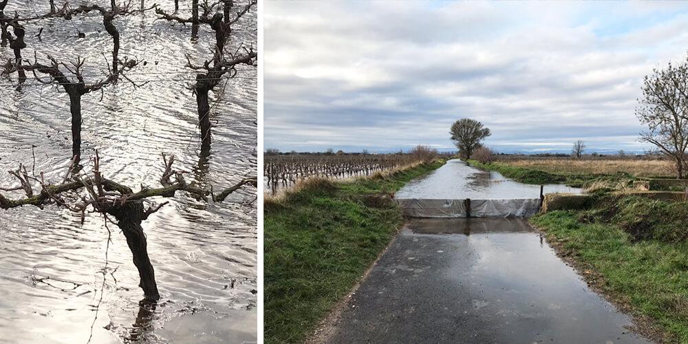 submersion of coastal vineyards